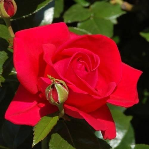 Чайно-гибридная роза вау (wow нт) - описание сорта, особенности агротехники | о розе
