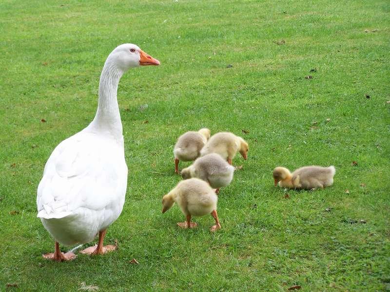 Как определить пол гусей: гусь или гусыня