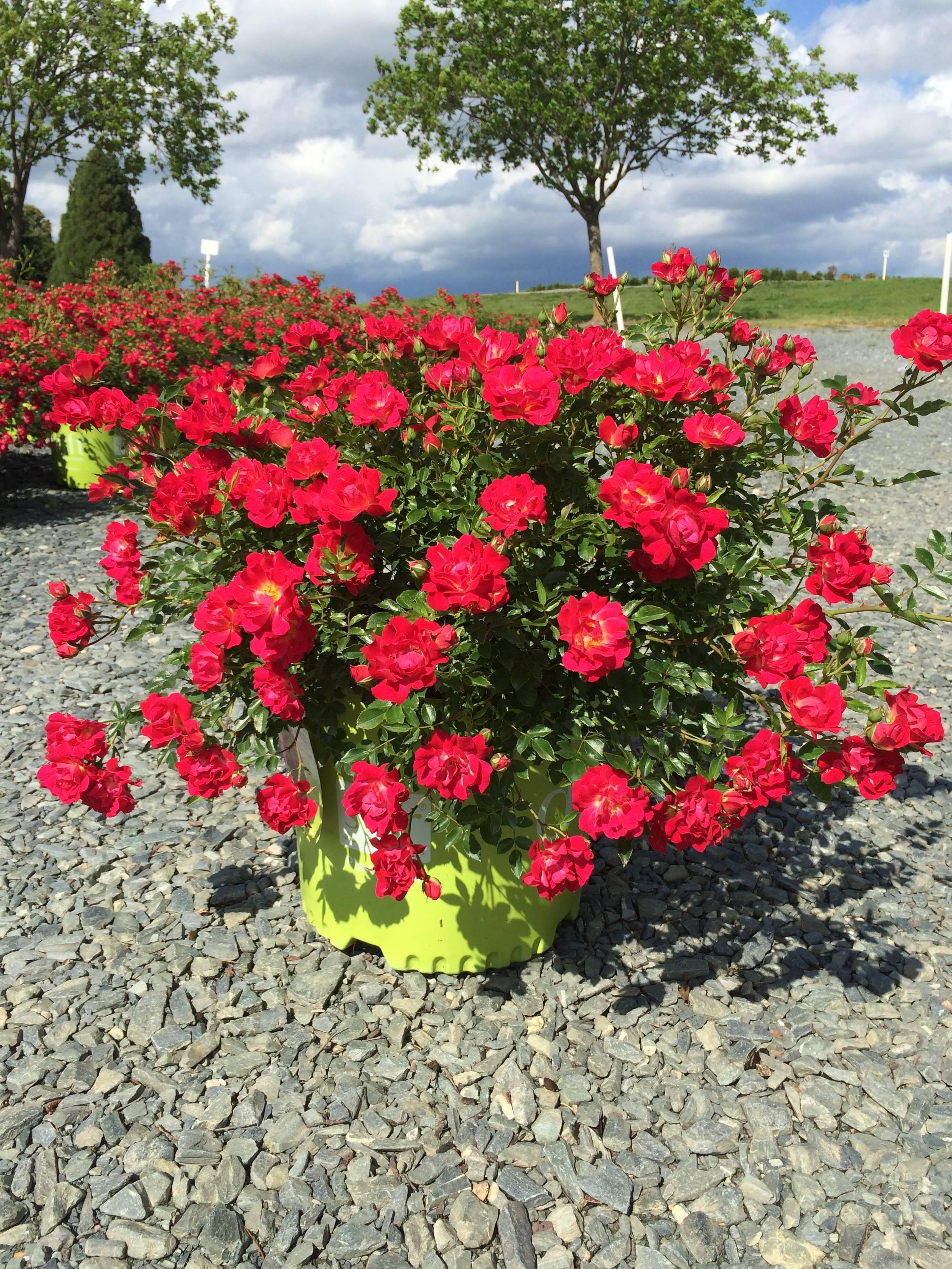О розе ред пиано (red piano): описание и характеристики розы чайно гибридной