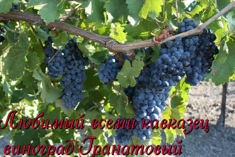 Лучшие сорта винограда с описанием и характеристиками по алфавиту