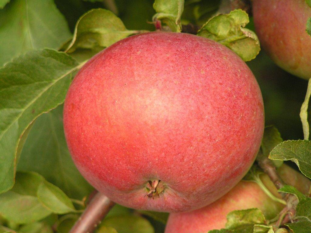 Обзор сортов яблок для беларуси и рекомендации по выращиванию