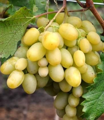 Виноград мускат - лучшие столовые сорта винограда и особенности их выращивания и приготовления (100 фото)