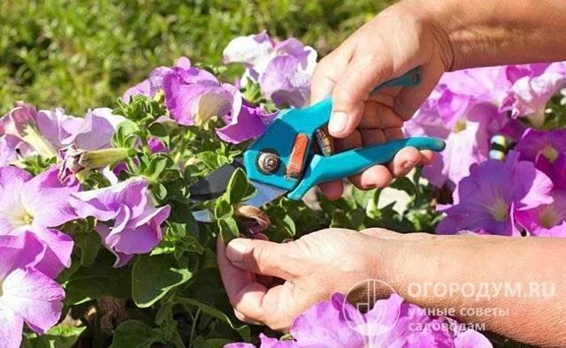 Как правильно прищипывать петунию, чтобы она цвела шикарно