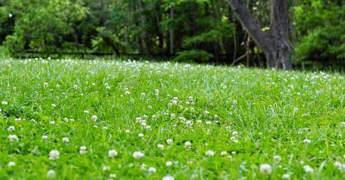 Семена клевера белого для газона