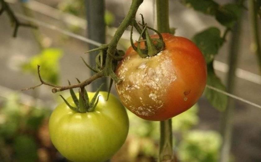 Фитофтора на помидорах в теплице, как бороться - признаки и причины