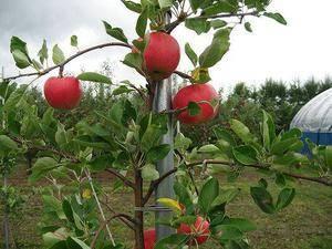 Можно ли из семечка яблока вырастить дерево: размножение культуры семенами