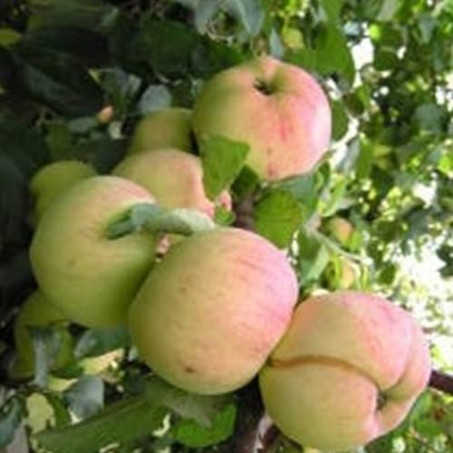 """Красивые и вкусные яблоки только на яблоне """"орловский пионер"""""""