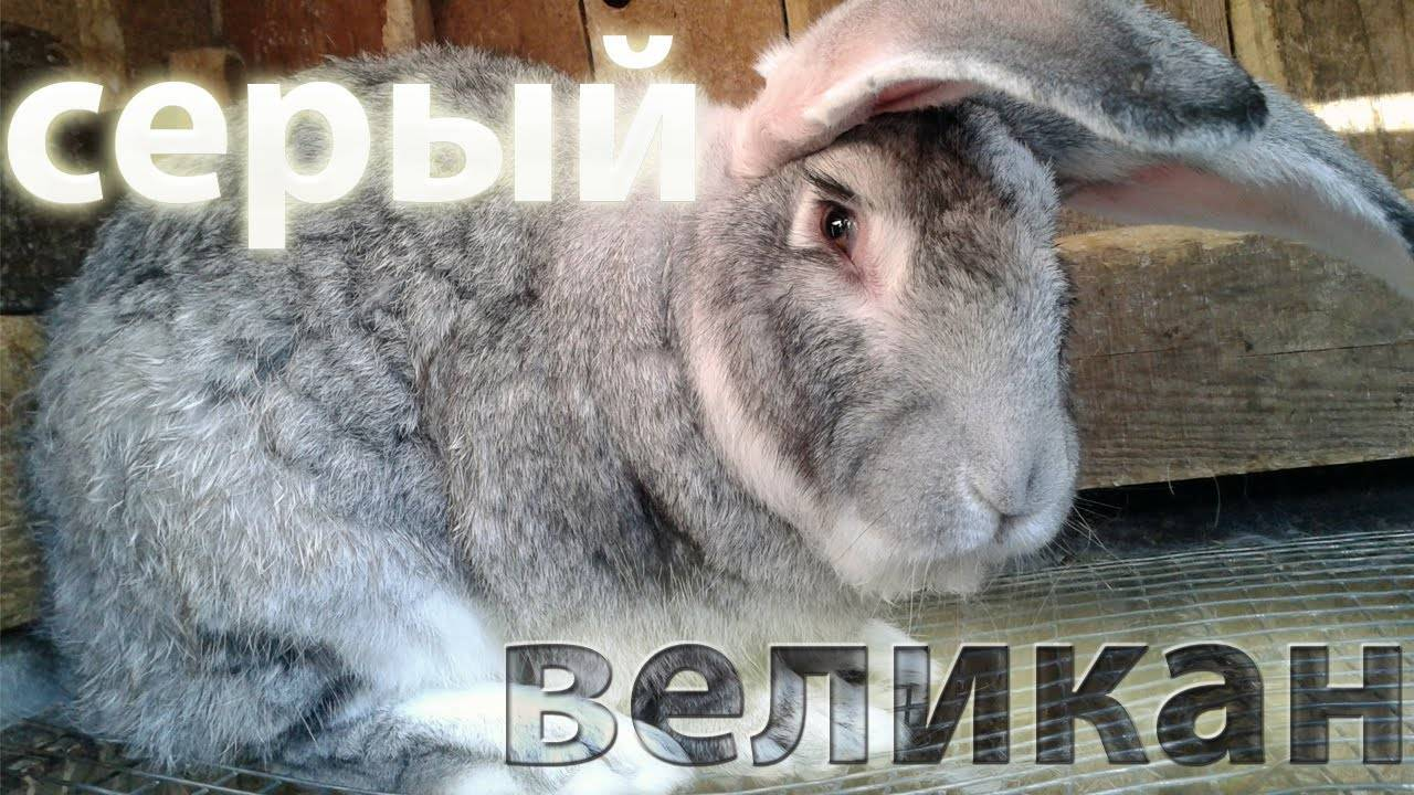 Кролик белый великан (26 фото): описание породы, особенности разведения и содержания в домашних условиях