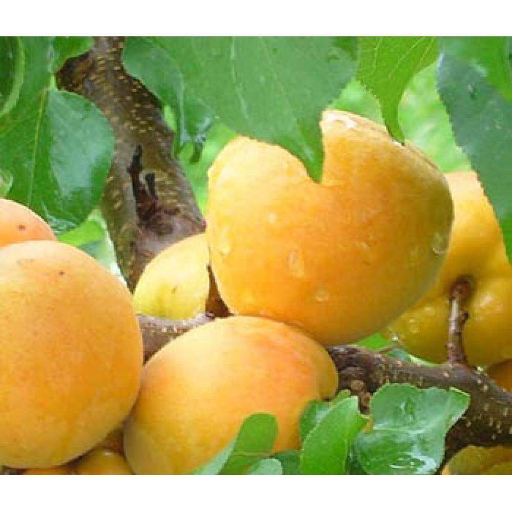 Об абрикосе Шалах: описание и характеристики сорта, посадка, уход, выращивание