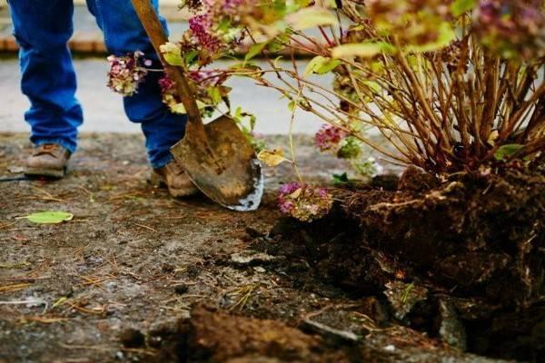 Особенности посадки гортензии в открытый грунт