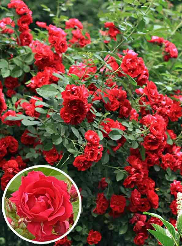 Описание розы фламментанц: когда сажать плетистый сорт, болезни и вредители