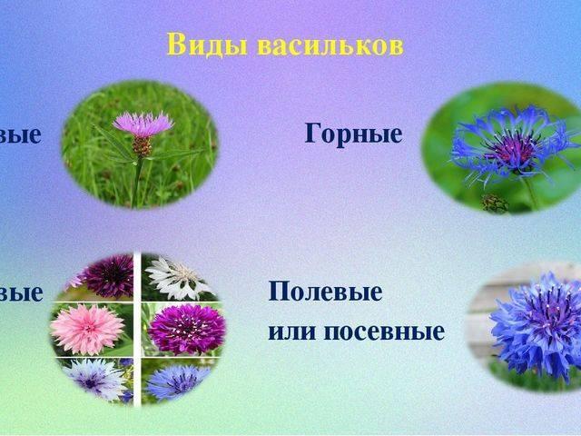 Василек: лечебные свойства и противопоказания