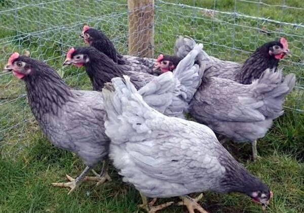 Андалузская голубая порода кур (фото и описание)