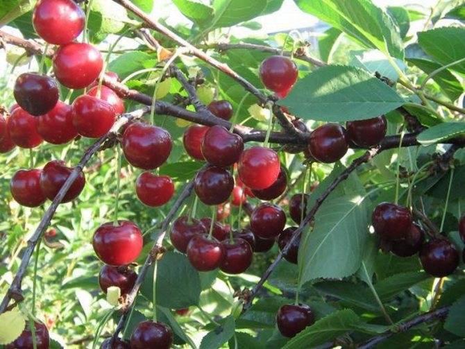 Сорта вишни, наиболее устойчивые к коккомикозу и монилиозу