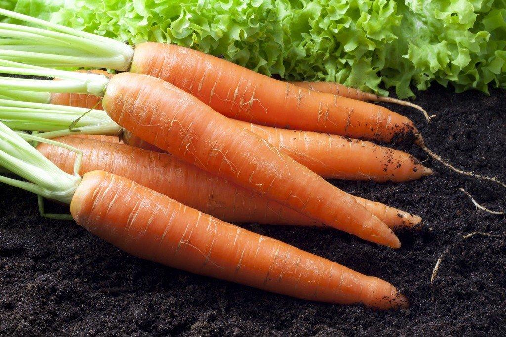 Как сеять морковь, чтобы быстро взошла: как правильно посадить, чтобы ускорить всхожесть семян, что нужно делать перед этим, как вырастить и чем обрабатывать?