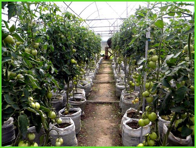 Посадка помидоров в теплицу требует грамотного подхода: 8 правил