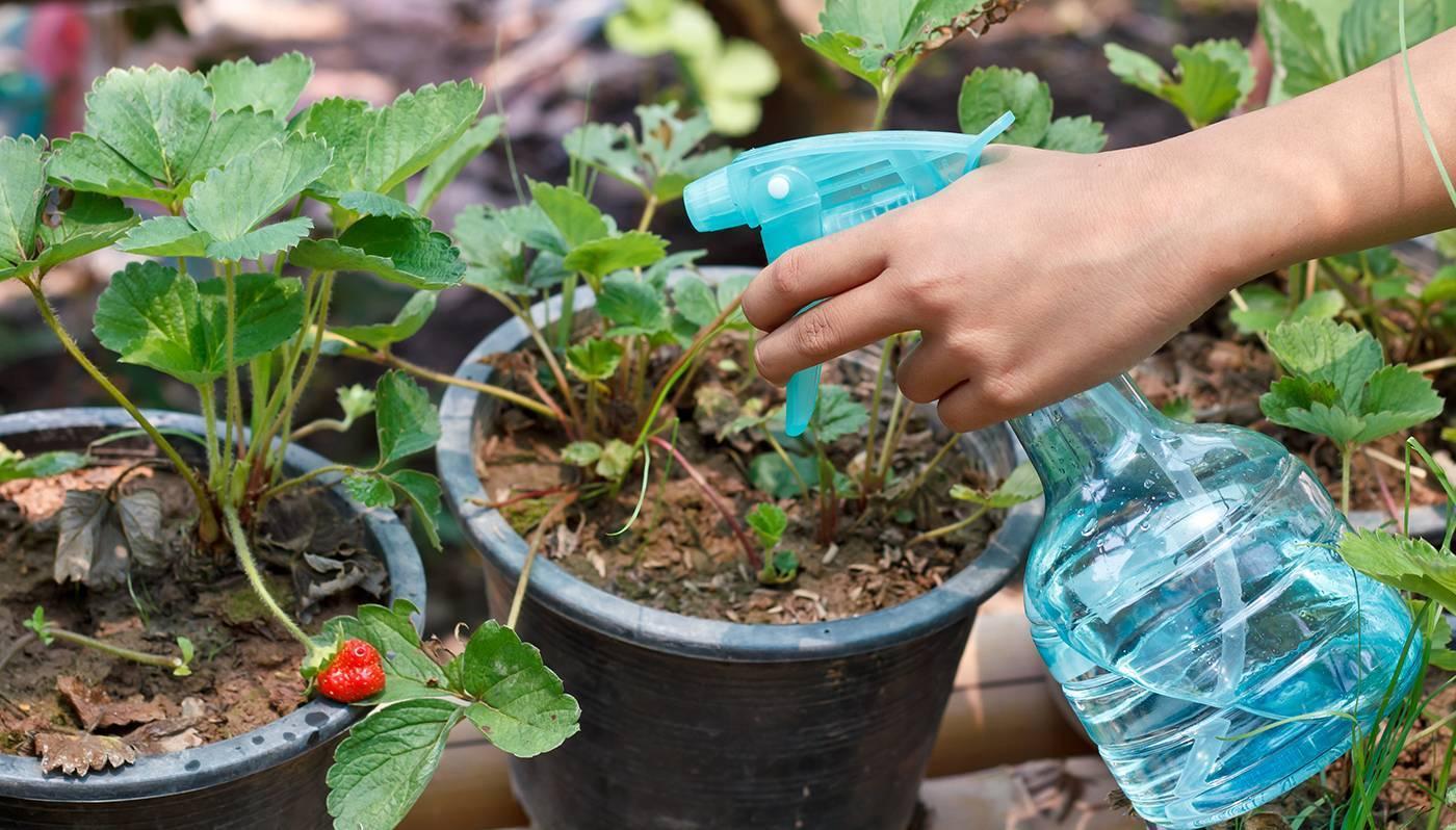 Клубника: болезни и вредители. обработка сада весной. вредители земляники садовой и борьба с ними