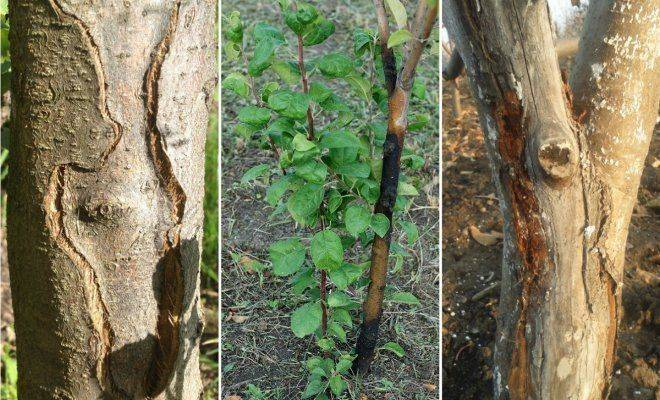 Борьба с трещинами и другими проблемами с корой у яблонь