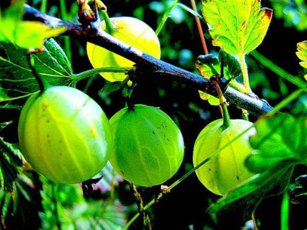 Выращивание уральского изумруда в саду: описание сорта, уход за крыжовником