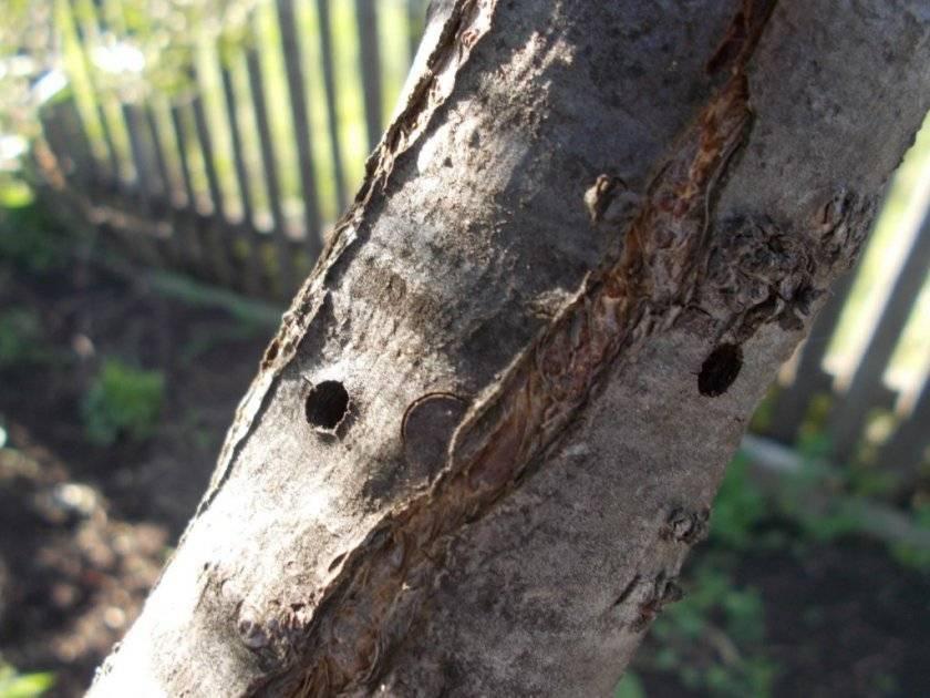 Чем замазать срезы на яблоне, кроме садового вара и чем обработать после обрезки