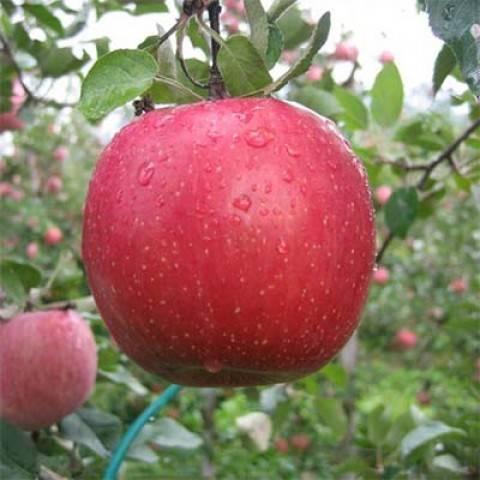 Яблоня «фуджи»: описание сорта, фото и отзывы