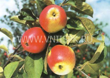 Сорт яблони шафран – описание, фото