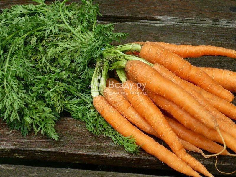 Чем подкормить морковь в августе: какие удобрения выбрать для открытого грунта, для роста