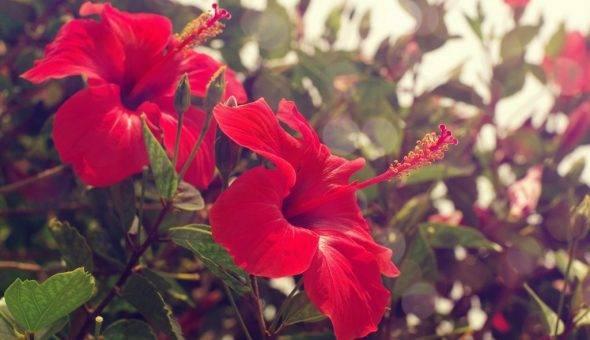Почему гибискус называют цветком смерти? можно ли держать китайскую розу в доме? приметы и суеверия