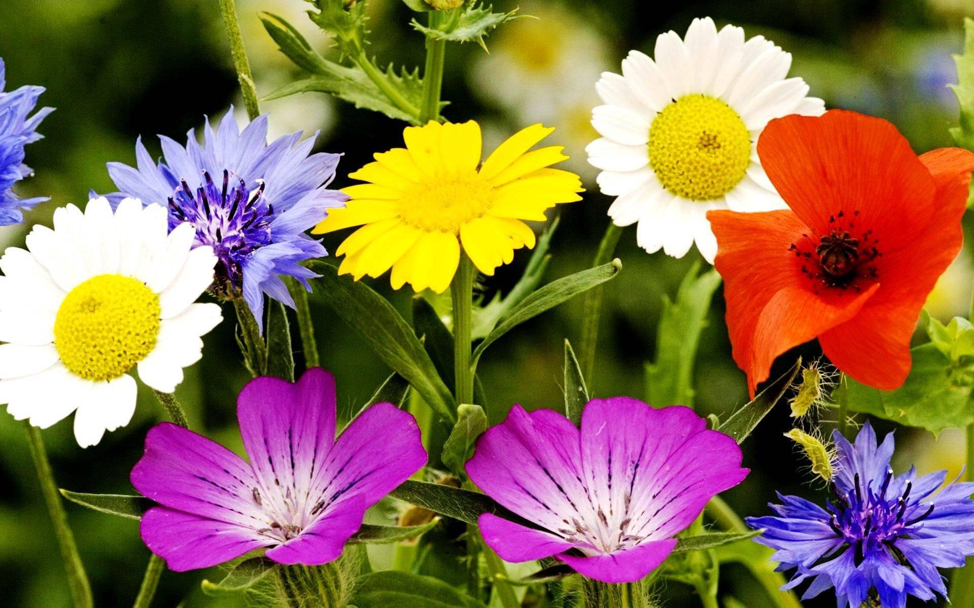 Полевые цветы – описание мака, ромашки, фиалки, анютиных глазок, василька и дельфиниума