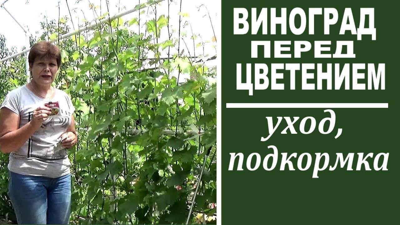 Чем обработать виноград перед цветением от вредителей, болезней?
