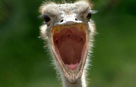 Правда ли, что страусы прячут голову в песок: интересные научные факты об этих животных