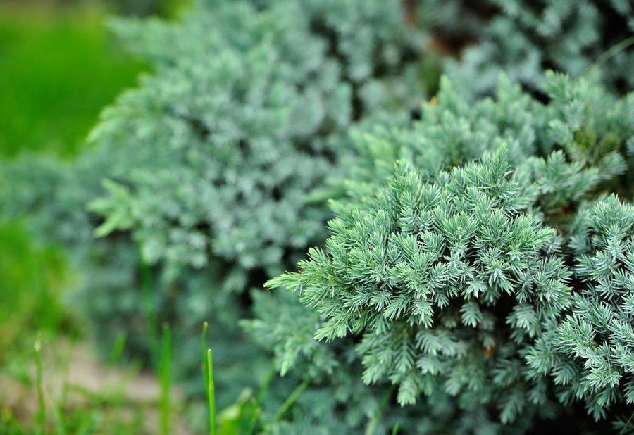 Можжевельник блю стар: особенности выращивания и ухода
