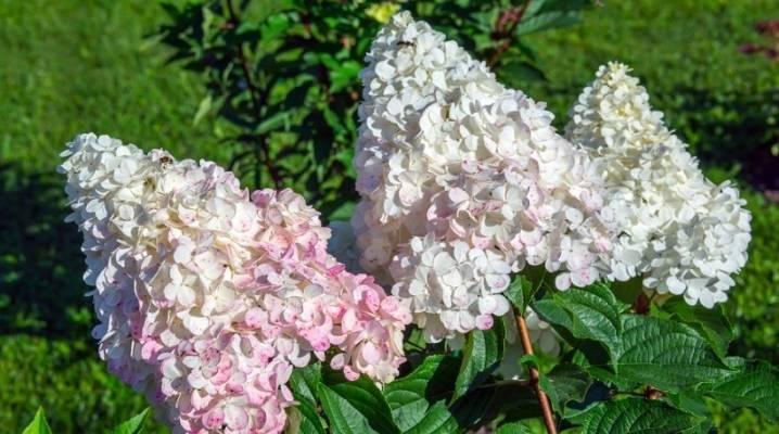 Гортензия черешковая (59 фото): описание вьющейся или плетистой гортензии, посадка и уход за лазящей лианой