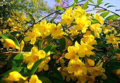 Как посадить жасмин голоцветковый: все о выращивании в открытом грунте