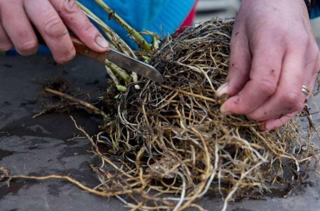 Размножение флоксов осенью