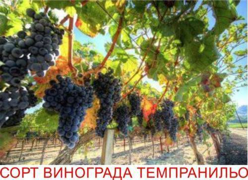 Виноград пино: разновидности сорта и описание