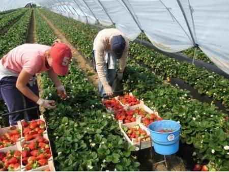 Клубника в теплице – проблемы выращивания и особенности поддержания климата (100 фото + видео)