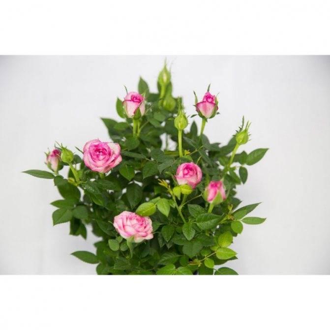 Роза кордана микс. как ухаживать после покупки в саду и домашних условиях. правила пересадки растения