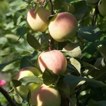 Подробная характеристика и особенности выращивания яблони сорта анис свердловский