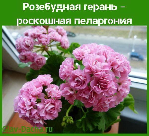 Пеларгония розебудная: что это за растение, какие есть сорта (вектис, красная, суприм, эппл блоссом и другие) – их описание и фото, а также уход в домашних условиях