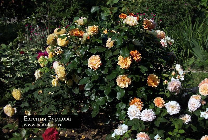 Роза текила описание. роза парковая (грандифлора) tequila. уход за растением