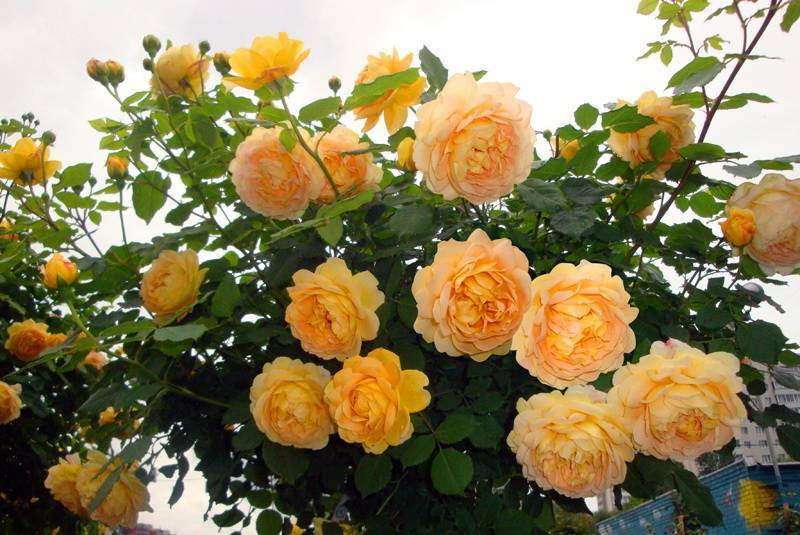 Голден селебрейшен: описание, характеристики и фото самой эффектной розы остина