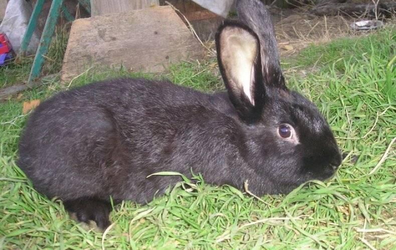 Новозеландская порода кроликов: характеристика, особенности разведения в домашних условиях