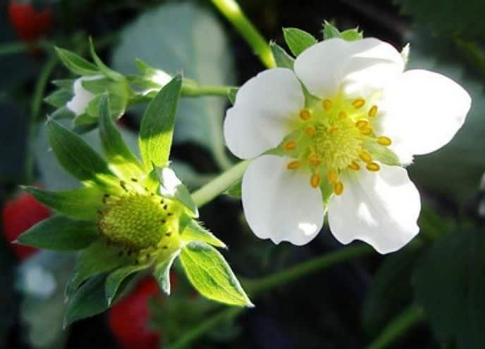 Почему не цветет клубника
