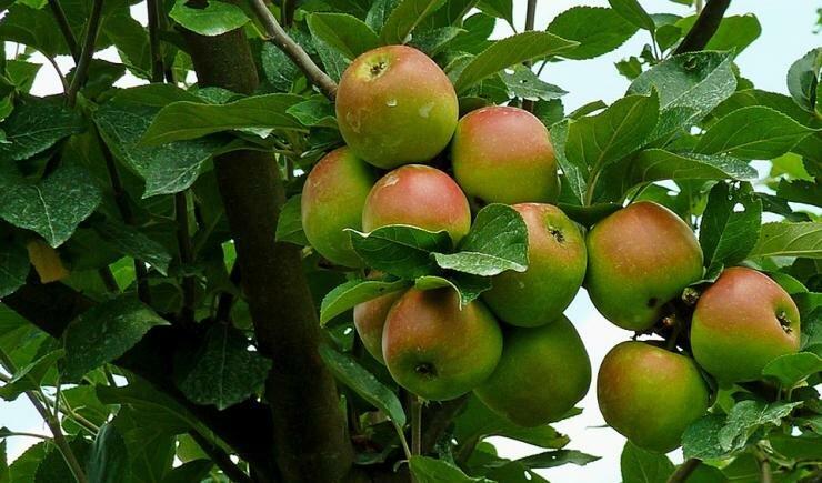5 способов размножения яблони с фотографиями