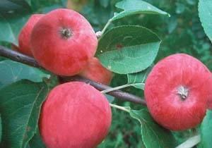 Когда и как сажать яблони весной в открытый грунт