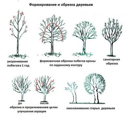 Обрезка деревьев — как правильно подрезать плодовые саженцы весной