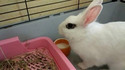 Красная моча у кролика: опасно ли это?