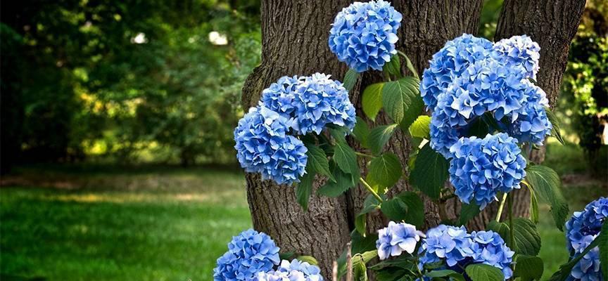 Как вырастить гортензию и надо ли укрывать ее на зиму. как сделать гортензию голубой