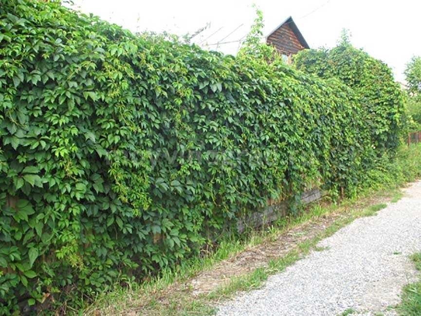 Фото девичьего винограда в ландшафтном дизайне — особенности посадки и ухода